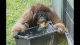Fotografía publicada por el zoológico de Schoenbrunn, en Viena, de un orangután jugando con agua el martes 25 de junio de 2019. (Daniel Zupanc/Zoológico de Viena vía AP)