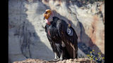 In this April 19, 2014 photo provided by the National Park Service shows a female California condor at Utah's Cable Mountain in Zion National Park, Utah. Biologists have confirmed that this female California condor laid an egg that has hatched at the park and there's a new baby condor. Park rangers said Tuesday, July 11, 2019, they estimate the California condor hatched in May, nestled in a crevice of a sweeping red-rock cliff. (National Park Service via AP)