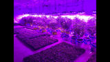 In this Monday, July 8, 2019 photo provided by Troy Young, hemp plants grow under the harsh, purple glow of LED lights at an indoor facility in North Salt Lake. Young, the manager of the facility, recently applied for a medical marijuana growers license in Utah. He said hemp and cannabis plants are both challenging to grow and require a lot of experimentation. (Troy Young via AP)