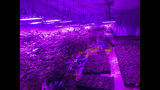 In this Monday, July 8, 2019 photo provided by Troy Young, hemp plants grow under the purple glow of LED lights at an indoor facility in North Salt Lake. Young, the manager of the facility, recently applied for a medical marijuana growers license in Utah. He said hemp and cannabis plants are both challenging to grow and require a lot of experimentation. (Troy Young via AP)