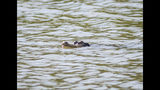 An alligator swims in the Humboldt Park Lagoon, Wednesday, July 10, 2019. City officials say alligator traps are being placed around the lagoon in hopes the animal will swim into one and be safely removed. (Ashlee Rezin/Chicago Sun-Times via AP)