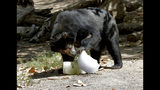 An Andean bear tries to get food out of a frozen treat left by zookeepers at the Phoenix Zoo, Tuesday, July 16, 2019, in Phoenix. The National Weather Service has issued an excessive heat warning to take effect until Wednesday night. The Phoenix Zoo use spraying, frozen treats and shaded area's to keep their animals cool. (AP Photo/Matt York)