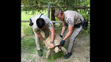 This Sunday, July 14, 2019, photo provided by the California Highway Patrol shows officers rescuing a 250-pound tortoise that wandered away from its home and was spotted on the shoulder of a road in Santa Ynez, Calif., about 100 miles (161 kilometers) northwest of Los Angeles. The CHP says it got a call about the big reptile Sunday evening, located the owners, put the tortoise in the patrol car and delivered it to them about two hours later. (California Highway Patrol via AP)