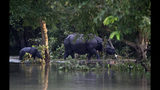 A one-horned Rhinoceros walks followed by a calf in the flooded Pobitora wildlife sanctuary, east of Gauhati, India, Friday, July 19, 2019. The sanctuary has the highest density of the one-horned Rhinoceros in the world. (AP Photo/Anupam Nath)
