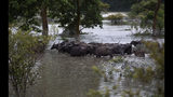 Asiatic wild buffalos stand in floodwaters in Pobitora wildlife sanctuary, east of Gauhati, India, Friday, July 19, 2019. The sanctuary has the highest density of the one-horned Rhinoceros in the world. (AP Photo/Anupam Nath)