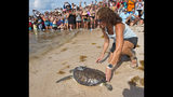 "In this photo provided by the Florida Keys News Bureau, Bette Zirkelbach, manager of the Florida Keys-based Turtle Hospital, nudges ""St. Thomas,""  a rehabilitated juvenile green sea turtle, Friday, July 19, 2019, at Sombrero Beach in Marathon, Fla. Fitted with a satellite tracking transmitter, the reptile is part of the ""Tour de Turtles,"" a program that features online tracking of 16 sea turtles that have been or will be released off Florida and in the Caribbean. (Andy Newman/Florida Keys News Bureau via AP)"