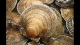 FILE- In this Dec. 17, 2011, file photo, a scallops are seen on board a fishing boat off the coast of Harpswell, Maine. America's harvest of scallops is increasing to near-record levels at a time when the shellfish are in high demand. (AP Photo/Robert F. Bukaty, FIle)