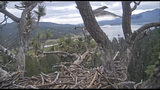 In this remote camera image by Friends of Big Bear Valley and Big Bear Eagle Nest Cam, released by the U.S. Forest Service, a young bald eagle, upper right, that the public watched hatch online on a Southern California mountain, fledges its nest Tuesday, July 23, 2019, in the San Bernardino National Forest. San Bernardino National Forest spokesman Zach Behrens says the juvenile male let out a call at 6:19 a.m. Tuesday and flew off screen. Bald eagles typically fledge between 10 and 12 weeks of age but this one waited until he was 14 weeks old. (Friends of Big Bear Valley and Big Bear Eagle Nest Cam/U.S. Forest Service via AP)