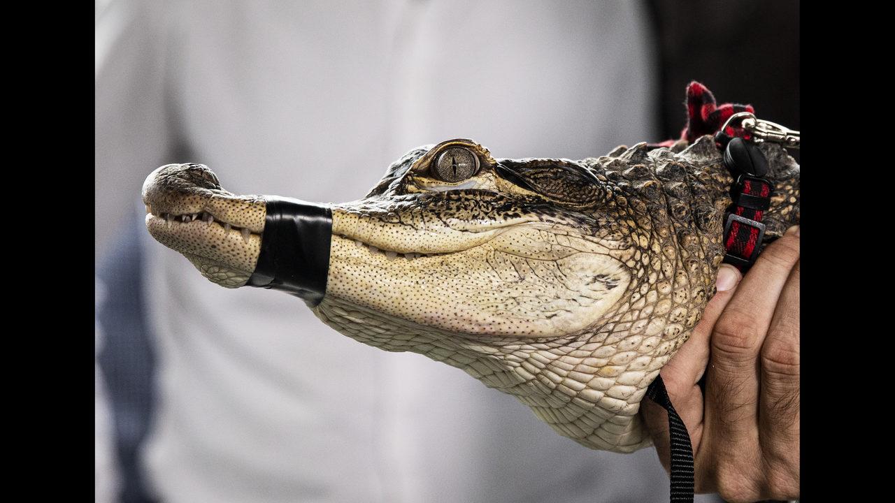 Chicago spent $33,600 on hunt for alligator in city park | WPXI