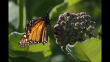 A monarch butterfly perches on milkweed at the Patuxent Wildlife Research Center in Laurel, Md., Friday, May 31, 2019. Farming and other human development have eradicated state-size swaths of its native milkweed habitat, cutting the butterfly's numbers by 90% over the last two decades. It is now under considered for listing under the Endangered Species Act. (AP Photo/Carolyn Kaster)