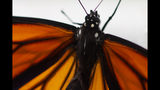 This photo shows a monarch butterfly after it emerged in Washington, Sunday, June 2, 2019. (AP Photo/Carolyn Kaster)