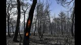 The trunk of a tree burns after a wildfire in Kontodespoti village on the Greek island of Evia, Wednesday, Aug. 14, 2019. More than a thousand firefighters battled wildfires Tuesday in Greece, with the largest burning out of control through a nature reserve on the island of Evia north of Athens causing four villages and a monastery to be evacuated. (AP Photo/Michael Varaklas)