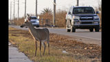 FILE - In this Wednesday, Sept. 13, 2017, file photo, a Florida Key deer stands on the side of Overseas Highway in the aftermath of Hurricane Irma in Big Pine Key, Fla. The endangered deer's protection with the Endangered Species Act is intended to be stripped by the US Fish and Wildlife Service. A letter from the agency shows that the Service made a determination that there is no more threat to the deer, which is beloved by locals. (AP Photo/Alan Diaz, File)