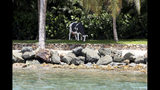 "A life-size Holstein-Friesian cow statue that locals say was moved to a different spot weekly and sometimes even daily, stands on Little St. James Island, in the U. S. Virgin Islands, a property owned by Jeffrey Epstein, Wednesday, Aug. 14, 2019. Tourists and locals alike are powering up boats to take a closer look at a place nicknamed ""Pedophile Island' that lies just off the southeast coast of St. Thomas. (AP Photo/Gabriel Lopez Albarran)"