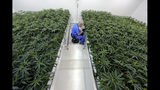 Thomas Uhle, grow manager, tends to marijuana plants growing at GB Sciences Louisiana, in Baton Rouge, La., Tuesday, Aug. 6, 2019. Today was the first day the marijuana, which was grown for medical purposes, was processed and shipped to patients in Louisiana. (AP Photo/Gerald Herbert)