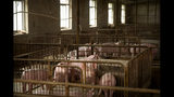 In this May 8, 2019, photo, young pigs stand in enclosures at a pig farm in Panggezhuang village in northern China's Hebei province. As a deadly virus ravages pig herds across Asia, scientists are accelerating efforts to develop a vaccine to help guard the world's pork supply. (AP Photo/Mark Schiefelbein)