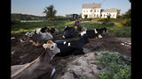 In this Thursday Aug. 15, 2019 photo, dairy cows rest outside the home of Fred and Laura Stone at Stoneridge Farm in Arundel, Maine. The farm has been forced to shut down after sludge spread on the land was linked to high levels of PFAS in the milk. (AP Photo/Robert F. Bukaty)