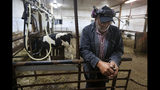 """In this Thursday Aug. 15, 2019 photo, dairy farmer Fred Stone pauses while working in the milking room at his farm in Arundel, Maine. Fred Stone and his wife Laura, whose dairy farm is contaminated by toxic chemicals known collectively as PFAS, so-called """"forever chemicals,"""" have high PFAS levels in their blood. (AP Photo/Robert F. Bukaty)"""