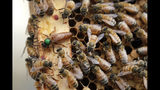 In this Aug. 7, 2019 photo, the queen bee (marked in green) and worker bees move around a hive at the Veterans Affairs in Manchester, N.H. Veterans in programs like the one at the Manchester VA Medical Center in New Hampshire insist that beekeeping helps them focus, relax and become more productive. (AP Photo/Elise Amendola)