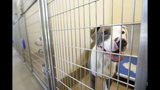 In this Wednesday, Aug. 27, 2019 photo, a dog is seen in the DeKalb County Animal Services shelter in Chamblee, Ga, about 13 miles (21 kilometers) northeast of Atlanta. LifeLine Animal Project in Atlanta manages a Pets for Life program that provides free services to pet owners in need. Officials say the program helps keep animals in their homes and out of the shelters, reducing shelter overcrowding. (AP Photo/Andrea Smith)