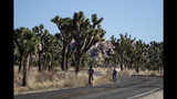 FILE - In this Jan. 10, 2019, file photo, two visitors ride their bikes along the road at Joshua Tree National Park in Southern California's Mojave Desert. A conservation organization has petitioned for protection of the western Joshua tree under the California Endangered Species Act due to the effects of climate change and habitat destruction. The Center for Biological Diversity filed the petition with the state Fish and Game Commission on Tuesday, Oct. 15. (AP Photo/Jae C. Hong, File)