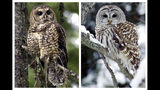 En esta combinación de imágenes tomadas en 2003 y 2006 muestran a un ejemplar de búho moteado (izquierda) en el Bosque Nacional Deschutes, cerca de Camp Sherman, Oregon, y a un búho listado en East Burke, Vermont. Los búhos listados son originarios del este de Norteamérica, pero comenzaron a desplazarse al oeste en el siglo XX. El búho listado es el gran enemigo del moteado: Se reproduce más seguido, tiene más bebés por año y come las mismas presas: ardillas y ratas de bosque. Hoy supera en número al moteado en muchas de las regiones naturales del moteado. (AP Foto/Don Ryan, Steve Legge)