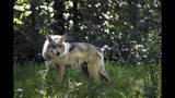FILE - In this May 20, 2019, file photo, a Mexican gray wolf is seen at the Endangered Wolf Center in Eureka, Mo. Dozens of environmental groups and scientists are asking U.S. wildlife managers to rethink how they plan to ensure the survival of Mexican gray wolves in the American Southwest. Following a loss in federal court, the U.S. Fish and Wildlife Service is working on crafting a new rule to guide management of the endangered predators in New Mexico and Arizona. (AP Photo/Jeff Roberson, File)