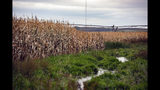 This Oct. 15, 2019 photo shows corn fields in Lyons, S.D., which contain areas of water-logged soil preventing harvest. (Erin Bormett/The Argus Leader via AP)