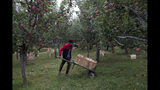 In this Sunday, Oct. 6, 2019 photo, a Kashmiri farmer Imtiyaz Ahmad transports apples on a wheelbarrow inside his orchard in Wuyan, south of Srinagar Indian controlled Kashmir. The apple trade, worth $1.6 billion in exports in 2017, accounts for nearly a fifth of Kashmir's economy and provides livelihoods for 3.3 million. This year, less than 10% of the harvested apples had left the region by Oct. 6. Losses are mounting as insurgent groups pressure pickers, traders and drivers to shun the industry to protest an Indian government crackdown. (AP Photo/Dar Yasin)
