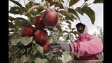 In this photo taken Tuesday, Oct. 15, 2019, Sagrario Ochoa reaches to pick a Cosmic Crisp apple, a new variety and the first-ever bred in Washington state, in an orchard in Wapato, Wash. The Cosmic Crisp, available beginning Dec. 1, is expected to be a game changer in the apple industry. Already, growers have planted 12 million Cosmic Crisp apple trees, a sign of confidence in the new variety. (AP Photo/Elaine Thompson)