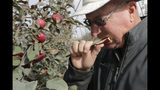 In this photo taken Tuesday, Oct. 15, 2019, Aaron Clark, vice president of Price Cold Storage, bites into a slice from a Cosmic Crisp apple, a new variety and the first-ever bred in Washington state, after pulling it off a tree in an orchard in Wapato, Wash. The Cosmic Crisp, available beginning Dec. 1, is expected to be a game changer in the apple industry. Already, growers have planted 12 million Cosmic Crisp apple trees, a sign of confidence in the new variety. (AP Photo/Elaine Thompson)