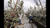 In this photo taken Tuesday, Oct. 15, 2019, workers Edilia Ortega, left, and Reynaldo Enriquez pick Cosmic Crisp apples, a new variety and the first-ever bred in Washington state, in an orchard in Wapato, Wash. The grayish coating on some of the trees and apples is from kaolin clay, used to protest the fruit from sunburn. The Cosmic Crisp, available beginning Dec. 1, is expected to be a game changer in the apple industry. Already, growers have planted 12 million Cosmic Crisp apple trees, a sign of confidence in the new variety. (AP Photo/Elaine Thompson)
