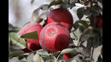 In this photo taken Tuesday, Oct. 15, 2019, Cosmic Crisp apples, a new variety and the first-ever bred in Washington state, sit on the tree ready to be picked at an orchard in Wapato, Wash. The Cosmic Crisp, available beginning Dec. 1, is expected to be a game changer in the apple industry. Already, growers have planted 12 million Cosmic Crisp apple trees, a sign of confidence in the new variety. (AP Photo/Elaine Thompson)