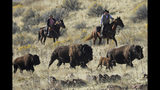 File - In this Oct. 26, 2019, file photo, riders herd bison during the annual bison roundup on Antelope Island in Utah. Evidence is mounting that wild North American bison are gradually shedding their genetic diversity across many of the isolated herds overseen by the U.S. government, weakening future resilience against disease and climate events in the shadow of human encroachment. Advances in genetics are bringing the concern in to sharper focus. (AP Photo/Rick Bowmer, File)