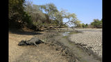 """In this Oct, 27, 2019, photo, the carcass of a buffalo lies on the edges of a sun baked pool that used to be a perennial water supply in Mana Pools National Park, Zimbabwe. Elephants, zebras, hippos, impalas, buffaloes and many other wildlife are stressed by lack of food and water in the park, whose very name comes from the four pools of water normally filled by the flooding Zambezi River each rainy season, and where wildlife traditionally drink. The word """"mana"""" means four in the Shona language. (AP Photo/Tsvangirayi Mukwazhi)"""