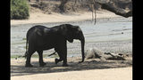 """In this Oct, 27, 2019, photo, an elephant walks next to a carcass of another elephant in an almost dry pool that used to be a perennial water supply in Mana Pools National Park, Zimbabwe. Elephants, zebras, hippos, impalas, buffaloes and many other wildlife are stressed by lack of food and water in the park, whose very name comes from the four pools of water normally filled by the flooding Zambezi River each rainy season, and where wildlife traditionally drink. The word """"mana"""" means four in the Shona language. (AP Photo/Tsvangirayi Mukwazhi)"""