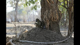 """In this Oct, 27, 2019, photo, a baboon sits under a tree in Mana Pools National Park, Zimbabwe. Elephants, zebras, hippos, impalas, buffaloes and many other wildlife are stressed by lack of food and water in the park, whose very name comes from the four pools of water normally filled by the flooding Zambezi River each rainy season, and where wildlife traditionally drink. The word """"mana"""" means four in the Shona language. (AP Photo/Tsvangirayi Mukwazhi)"""