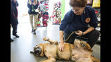 Staff Sgt. Agbar, a retired war dog, has his belly rubbed during a visit to Pet Supplies Plus where a portion of the proceeds from the day's sales and other donations will go to him and his adoptive family on Nov. 2, 2019. (Molly Mathis/The Daily Reflector via AP)
