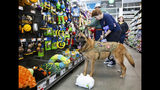 Staff Sgt. Agbar, a retired war dog, looks for a new toy during a visit to Pet Supplies Plus in Greenville, N.C.,where a portion of the proceeds from the day's sales and other donations will go to him and his adoptive family on Nov. 2, 2019. (Molly Mathis/The Daily Reflector via AP)