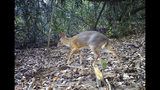In this Apr. 22, 2018, photo, a silver-backed chevrotain is captured on a camera trap in an undisclosed forest in south central Vietnam. The species, commonly known as Vietnamese mouse deer, was rediscovered after 30 years. (Southern Institute of Ecology/Global Wildlife Conservation/Leibniz Institute for Zoo and Wildlife Research/NCNP via AP)