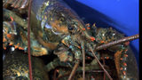 FILE - In this May 9, 2019, file photo, a lobster sits atop others at The Lobster Co., in Arundel, Maine. A United States trade representative is seeking to broker a deal with the European Union to send more lobsters to Europe. (AP Photo/Rodrique Ngowi)