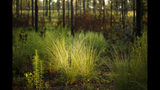 New growth flourishes on the floor of a long leaf pine forest, just three months after a prescribed burn at Fort Bragg in North Carolina on Tuesday, July 30, 2019. Frequent burns keep the undergrowth in check, restoring the forest to habitat the endangered red-cockaded woodpecker once thrived in before natural fires were suppressed by settlers. (AP Photo/Robert F. Bukaty)