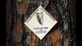 A sign indicates a tree used by a red-cockaded woodpecker in Southern Pines, N.C., on Tuesday, July 30, 2019. Unlike other woodpeckers, the red-cockaded woodpecker only nests and roosts in living long leaf pines. (AP Photo/Robert F. Bukaty)