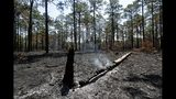Smoke rises from a log a few days after a prescribed burn in a long leaf pine forest at Fort Bragg in North Carolina on Tuesday, July 30, 2019. Frequent burns are beneficial to the endangered red-cockaded woodpecker and the St. Francis' satyr butterfly. (AP Photo/Robert F. Bukaty)