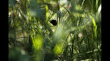 A St. Francis' satyr butterfly rests on sedge in swamp at Fort Bragg in North Carolina on Monday, July 29, 2019. One of Earth's rarest butterfly species, there are maybe 3,000 specimens. (AP Photo/Robert F. Bukaty)