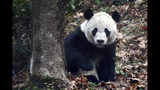 """Giant panda Bei Bei explores his surroundings on his first day at the Ya'an Bifengxia Base of the Giant Panda Conservation and Research Center in Ya'an in southwestern China's Sichuan Province, Thursday, Nov. 21, 2019. After a transcontinental flight on the """"Panda Express,"""" a furry American darling arrived early Thursday in his new Chinese home. The Washington-born giant panda Bei Bei was a beloved figure at the National Zoo, where he spent the first four years of his life. (Chinatopix via AP)"""
