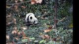 Bei Bei explora su nuevo entorno en su primer día en la base de Bifengxia del Centro de Conservación e Investigación de Pandas Gigantes de China en Ya'an, en la provincia suroccidental de Sichuan, el jueves 21 de noviembre de 2019, tras ser trasladado desde el Zoológico Nacional en Washington, donde nació hace cuatro años. (Chinatopix vía AP)