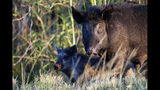 In this Friday, Oct. 25, 2019 photo, feral pigs roam near LaBelle, Fla. The state is second only to Texas in the number of non-native wild pigs living in the state. (AP Photo/Robert F. Bukaty)