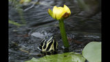 In this Friday, Oct. 18, 2019 photo, a Florida red-bellied turtle moves in to eat the flower of a lily pad in Everglades National Park, near Flamingo, Fla. (AP Photo/Robert F. Bukaty)
