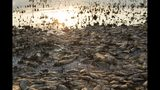 """FILE - In this Sept. 19, 2019 file photo, dead fish lie on the shores of Koroneia Lake in northern Greece. The chair of the two-week COP25 climate summit attended by nearly 200 countries warned at its opening Monday Dec. 2, 2019 that those refusing to adjust to the planet's rising temperatures """"will be on the wrong side of history."""" (AP Photo/Giannis Papanikos, File)"""